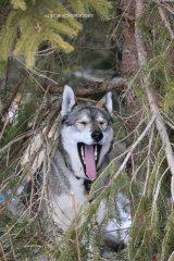 Todtmoos2007_Greylikewolves3.jpg