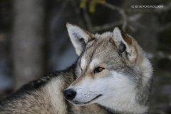 Todtmoos2007_Greylikewolves85.jpg